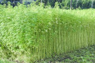 大麻畑の収穫