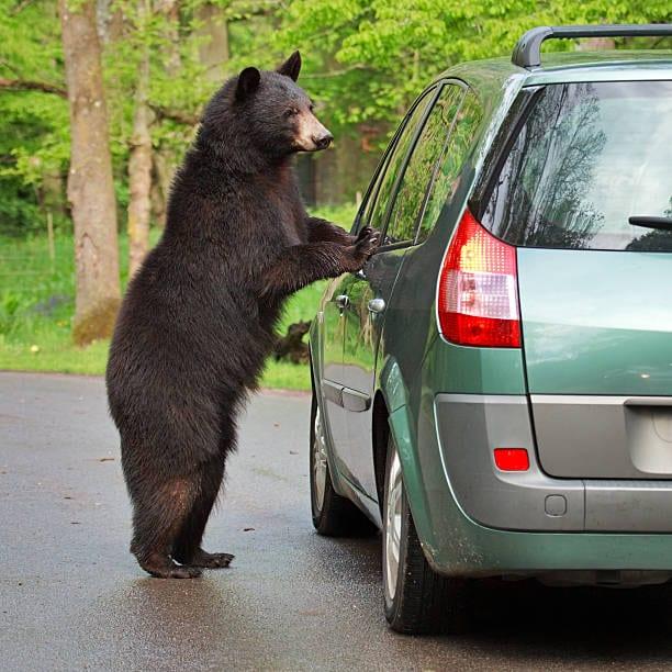 Wild bear looking to the car window