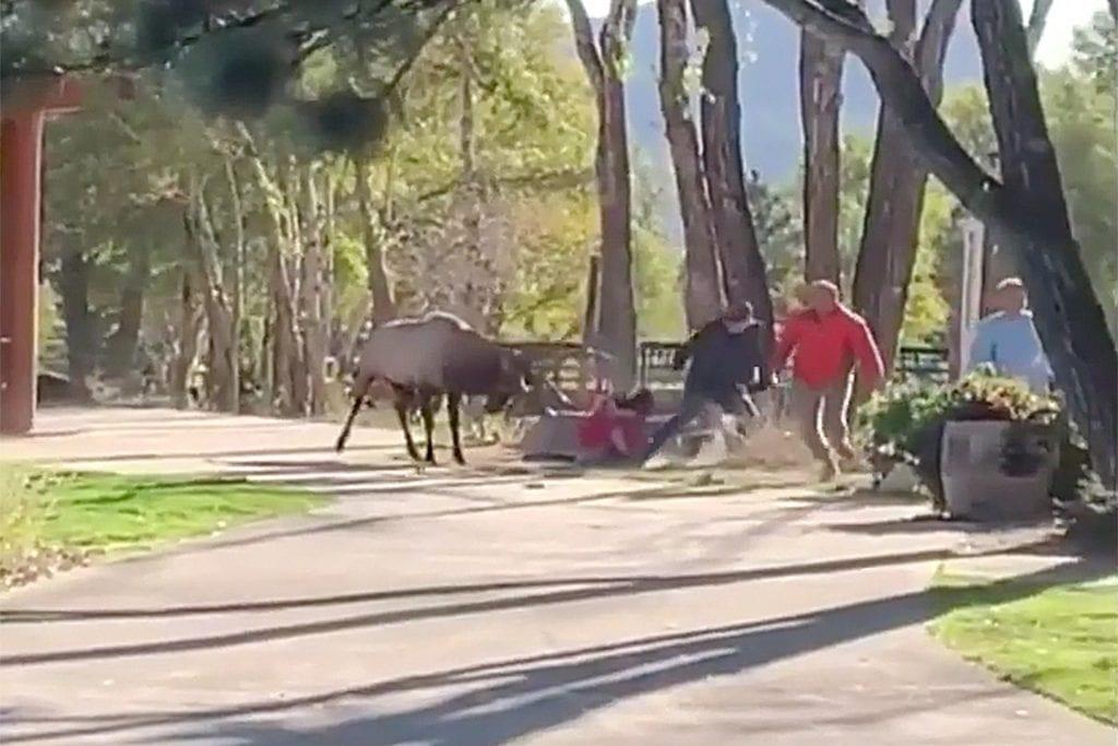 elk charging